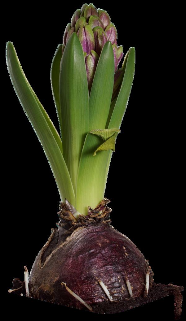Hyacinth 03 HQ png