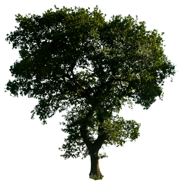 Tree 52 png