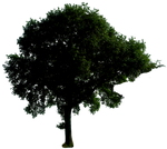 Tree 53 png