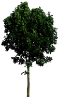Tree 55 png HQ