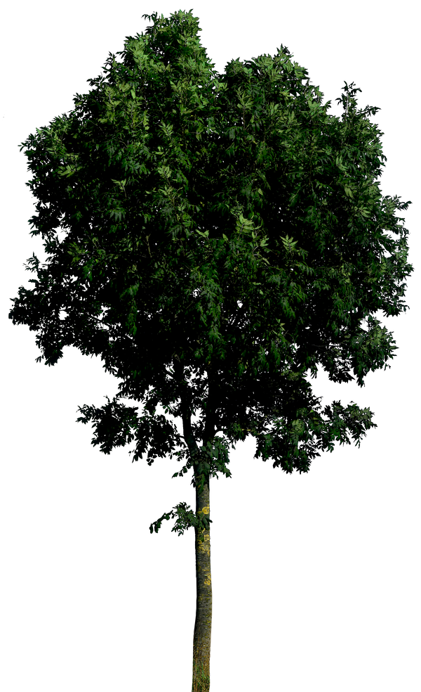 Tree 55 png HQ by gd08 on DeviantArt