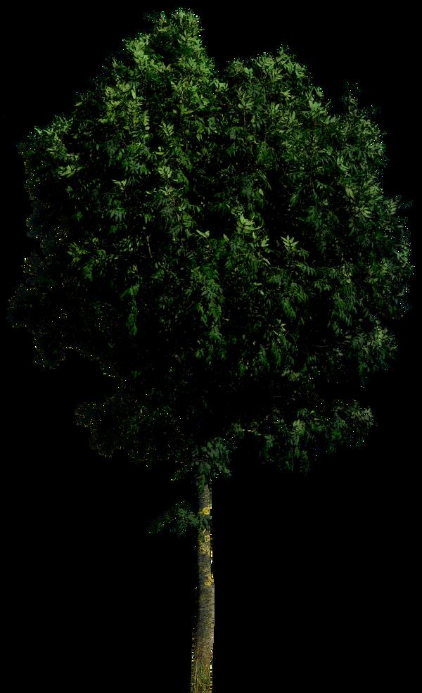 Tree 55 png HQ
