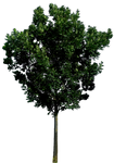 Tree 56 png HQ