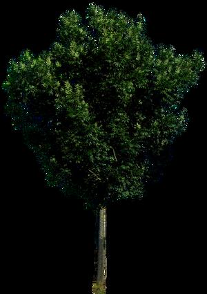 Tree 56 png HQ