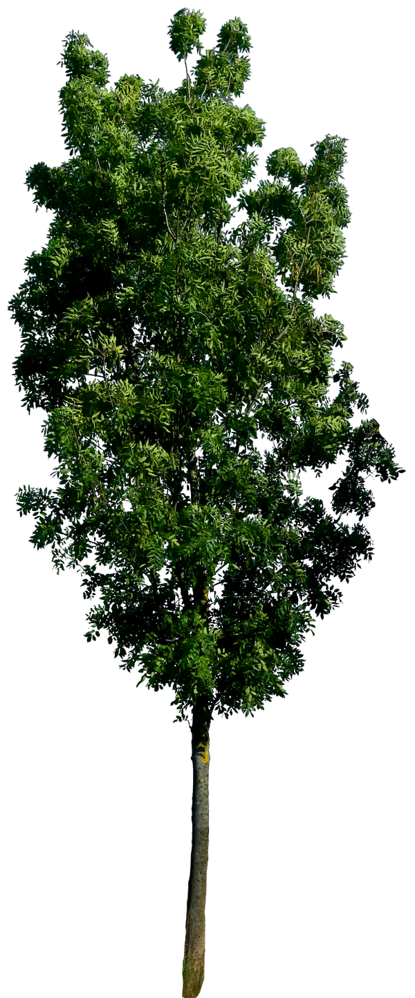 Tree 57 png HQ