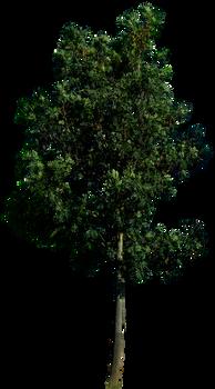 Tree 58 png HQ