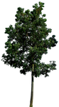 Tree 58 png HQ