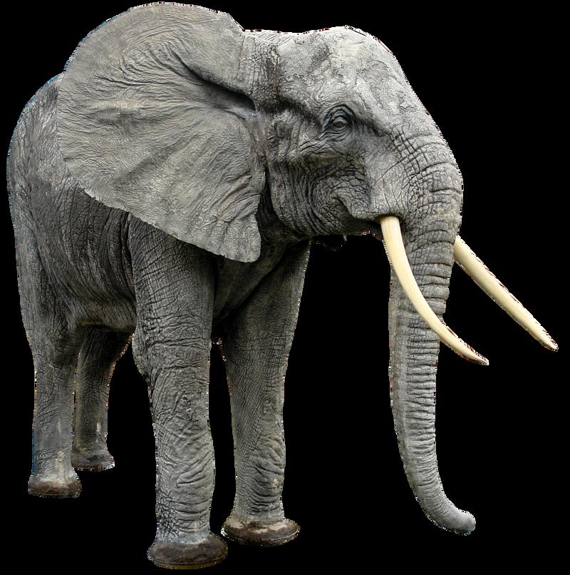 صور فيله صور فيله للتصميم صور فيله png صور فيله elephant_png_hq_by_gd08-d4w0069.png