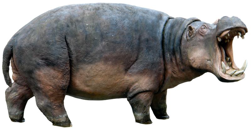 Butlova Gallery: Hippo Png HQ By Gd08 On DeviantArt