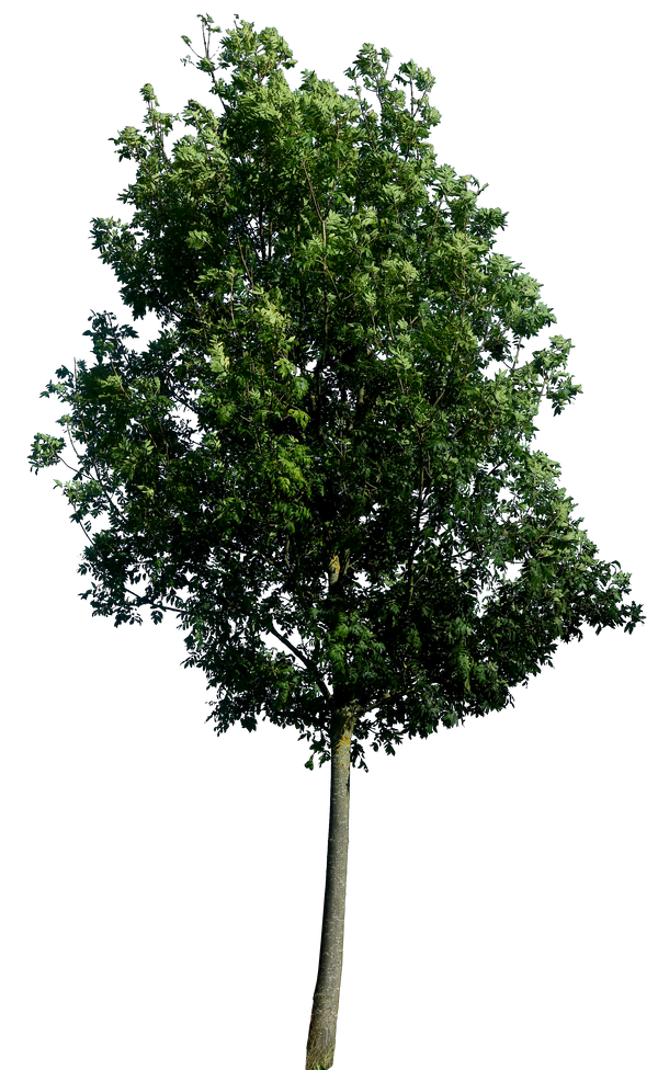 tree 60 png hq by gd08 on deviantart