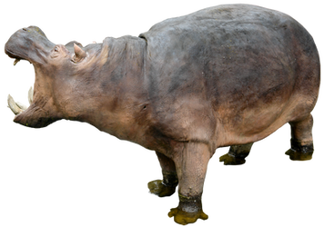 Hippo 02 By Gd08 by gd08