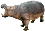 Hippo 02 By Gd08