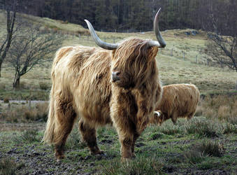 Highland Cow by capturedview