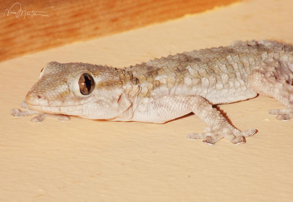 Gecko by aninyosaloh