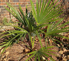 Windmill Palm (Trachycarpus Fortunei)