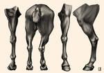 Study : Horse Anatomy