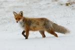Red fox by ImmortalArrow