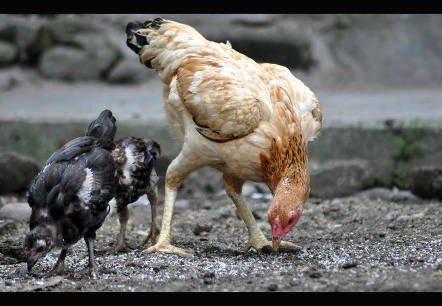 Ayam Kampung by ndondong