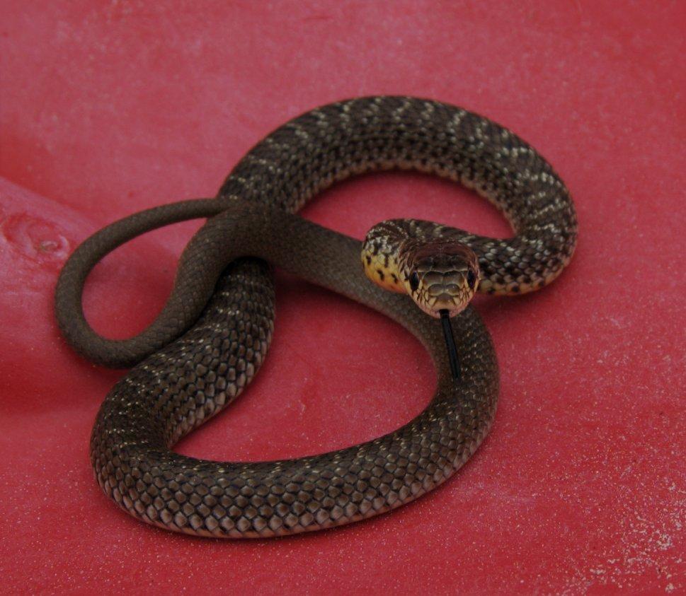 snake 9