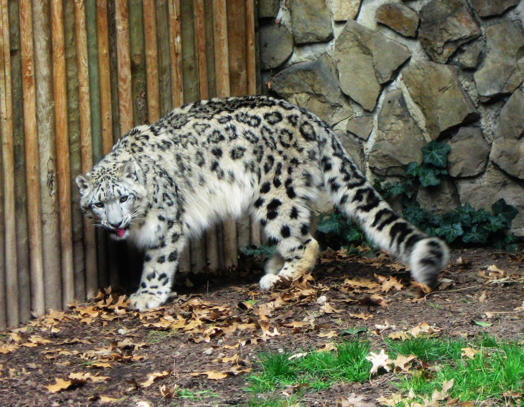 Snow Leopard 4 -- Aug 2009 by pricecw-stock