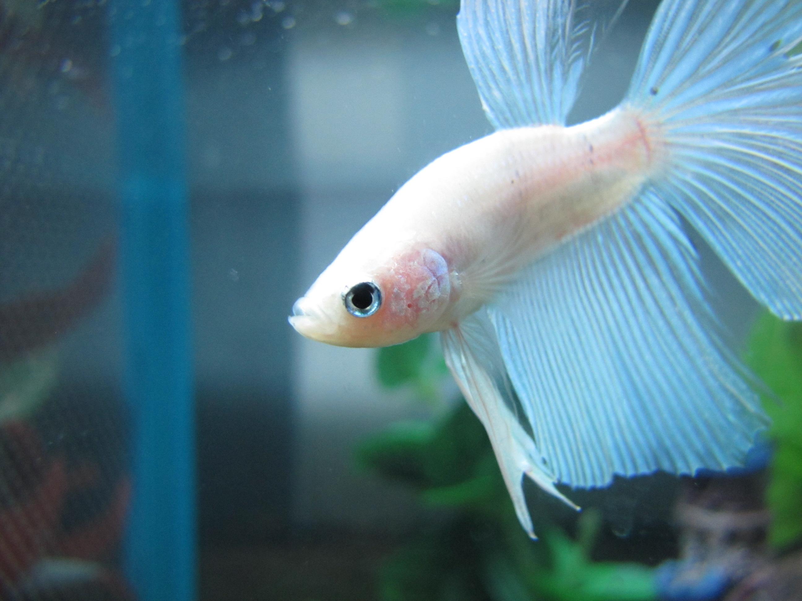 Pinterest the world s catalog of ideas for Methylene blue fish
