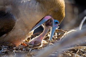 Boobie Chick Feeding 1 by photoboy1002001