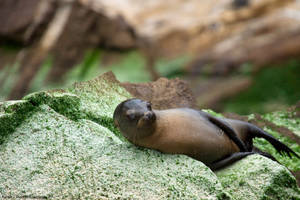 Young Sea Lion On Rock by photoboy1002001