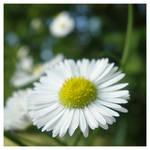 daisy dreams