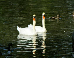 Boston-Swans by margsifrenia13