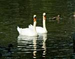 Boston-Swans