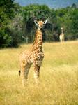 Rwanda-Baby Giraffe