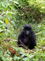 Rwanda-Female Gorilla by margsifrenia13