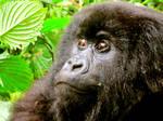 Rwanda-Female Gorilla 2