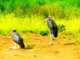 Rwanda-Marabou Stork by margsifrenia13