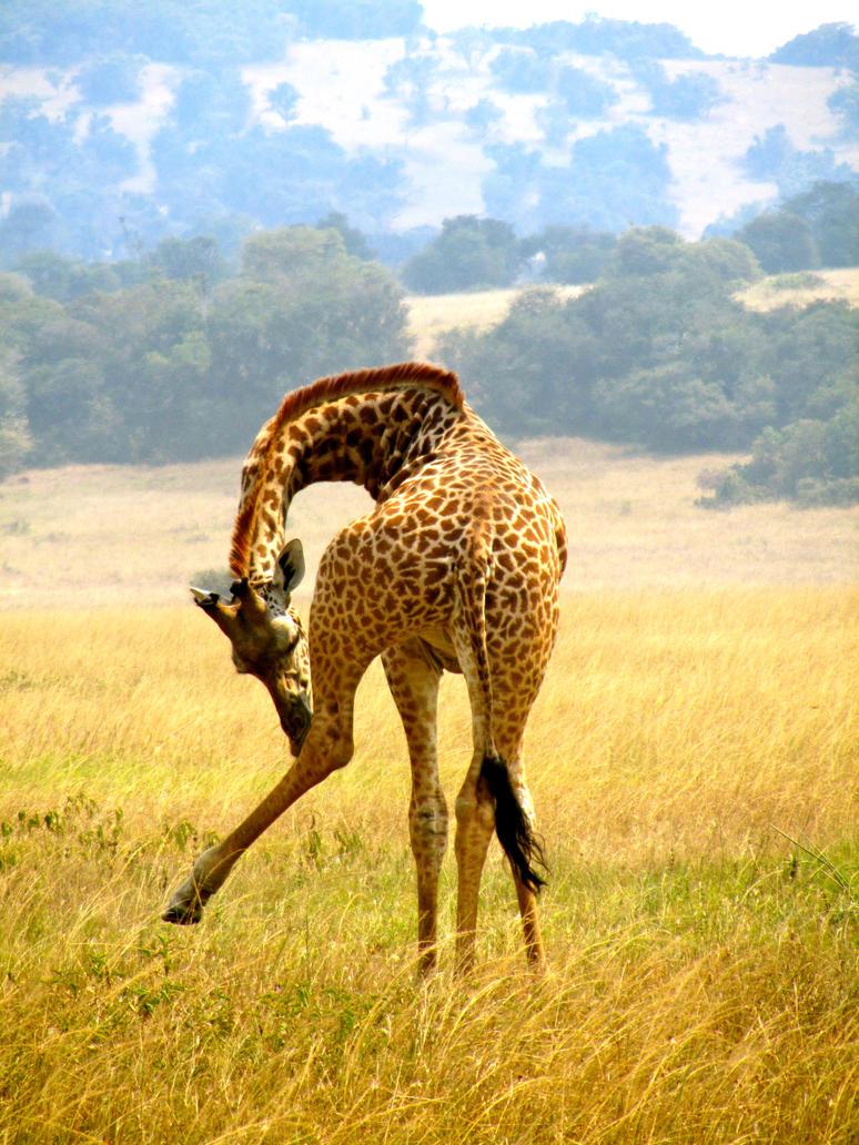 Rwanda-Giraffe Scratching Leg by margsifrenia13 on DeviantArt