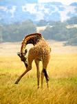 Rwanda-Giraffe Scratching Leg by margsifrenia13