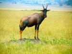 Rwanda-Fastest Game Animal/The Topi