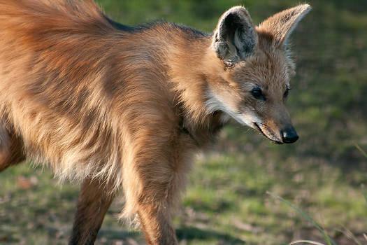 Maned Wolf II