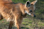 Maned Wolf II