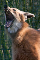 Yawning Maned Wolf