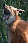 Yawning Maned Wolf