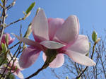 Magnolia splendour by Ygrain33