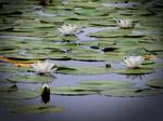 White Water Lilies by Defelozedd94
