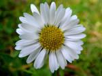 A Little Daisy by Defelozedd94