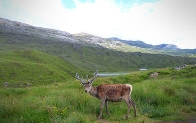 Reindeer In A Scotland Landscape (1) by Defelozedd94