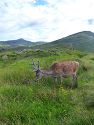 Reindeer In A Scotland Landscape (2) by Defelozedd94