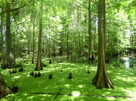 The Forest Swamp