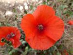 Poppy by Defelozedd94