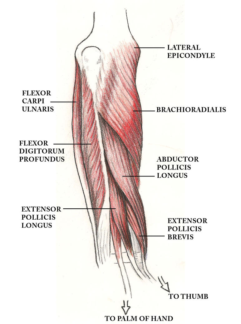 Anatomy - Forearm muscles by Rankenphile on DeviantArt