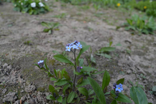 Forget-me-not flowers_by GalinaV